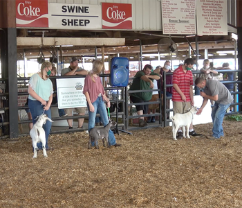 VIDEO: Saline County Holds Scaled-Back Livestock Show