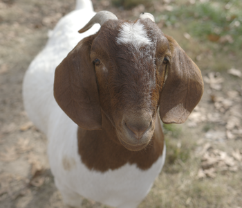 VIDEO: On the Farm with Jenny | Learning to Care for Show Goats